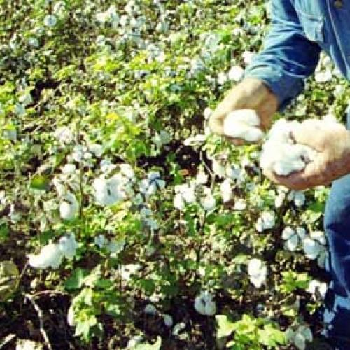Γεωργικές προειδοποιήσεις για τη βαμβακοκαλλιέργεια