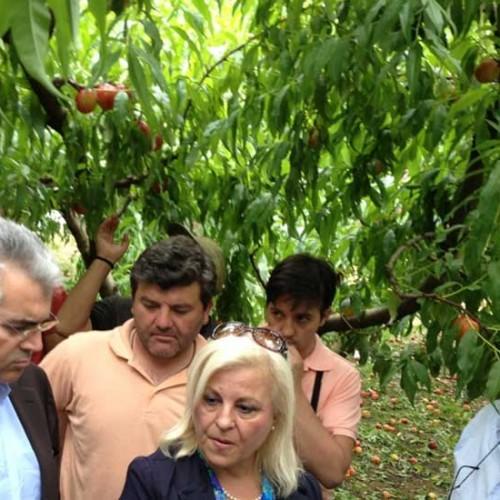 Γ. Μπατσαρά: Μπήκαν τα χρήματα για τους ροδακινοπαραγωγούς