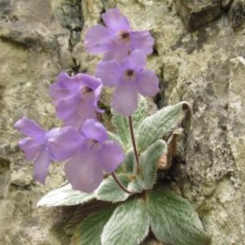 Ο θησαυρός του Ολύμπου. Το μοναδικό μοβ λουλούδι που δεν φύεται πουθενά αλλού στον κόσμο!