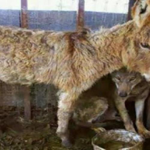 Ο Λύκος και ο Γάιδαρος! Μια πραγματική ιστορία…