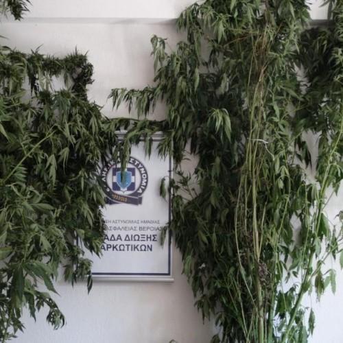 Συνελήφθη στην Ημαθία για καλλιέργεια κάνναβης