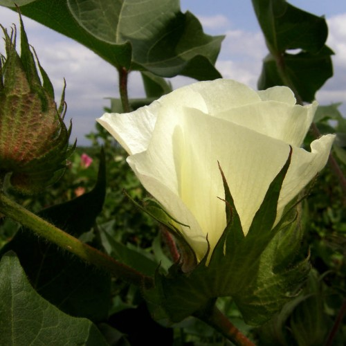 3o Δελτίο Γεωργικών Προειδοποιήσεων Ολοκληρωμένης Φυτοπροστασίας στη Βαμβακοκαλλιέργεια