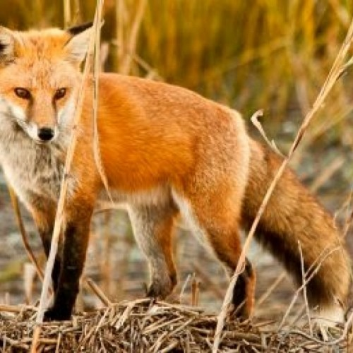 Εναέριοι εμβολιασμοί  κατά της λύσσας των κόκκινων αλεπούδων - Μέτρα διαχείρισης από τους κατοίκους