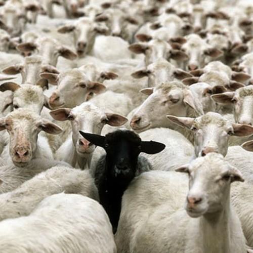 Βέροια: Εντοπίστηκαν 2.500 πρόβατα χωρίς σήμανση - Έρευνες για τυχόν... ελληνοποιήσεις!
