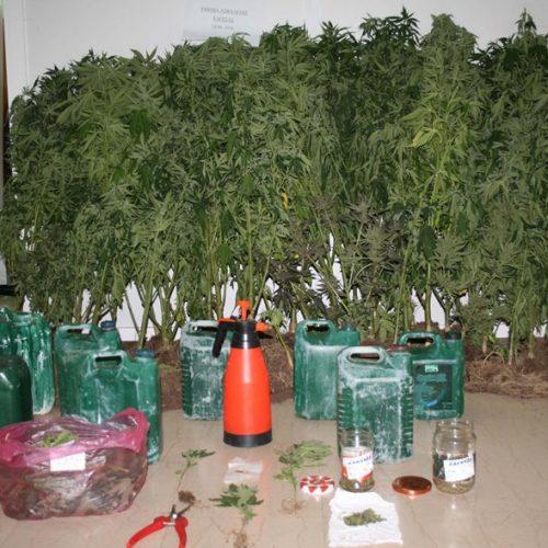 Συνελήφθησαν 2 άτομα   στην Πέλλα για καλλιέργεια δενδρυλλίων κάνναβης