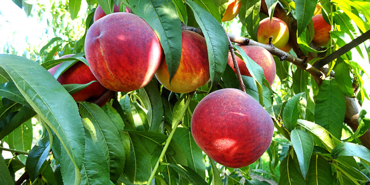 peaches-on-branch-of-tree