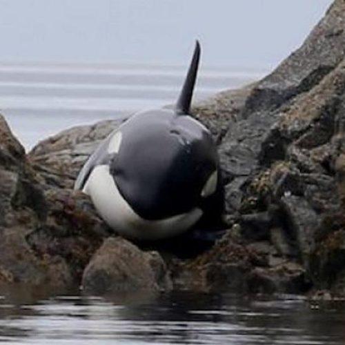 Φάλαινα είχε κολλήσει για ώρες σε βράχια και έκλαιγε... photo - video