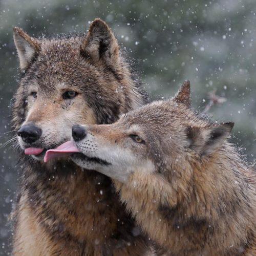 10 ζώα που αγαπούν το ταίρι τους με πίστη μέχρι το τέλος!