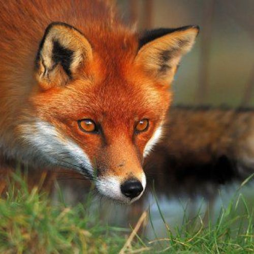 Πραγματοποιήθηκαν ρίψεις εμβολίων από αέρος για τις κόκκινες αλεπούδες στην Ημαθία