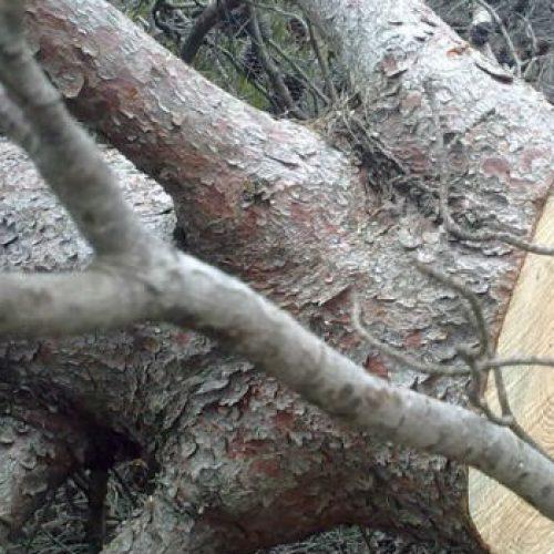 Καταπλακώθηκε από δένδρο που έκοβε στην Πέλλα
