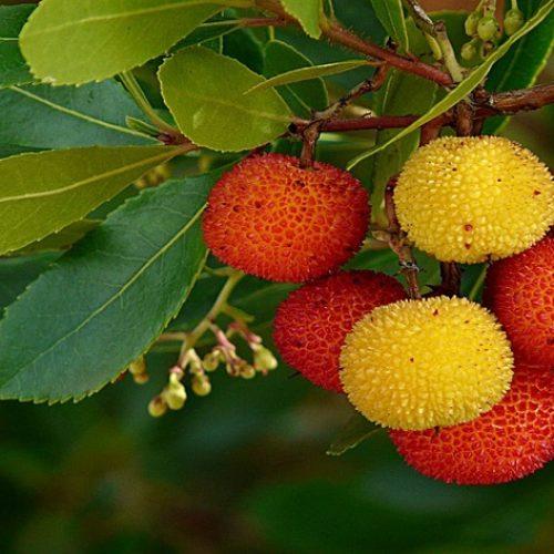 Κούμαρο, ένα άγριο φρούτο της ελληνικής χλωρίδας με ιαματικές ιδιότητες