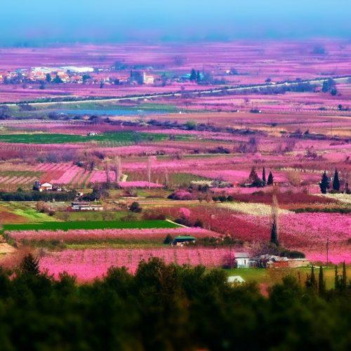"""""""Το ροζ της Άνοιξης στον κάμπο της Ημαθίας"""" -  Η διάσημη φωτογραφία της Βεροιώτισσας Ρίτσας Λίτσα, που ταξιδεύει σ' όλον τον κόσμο"""