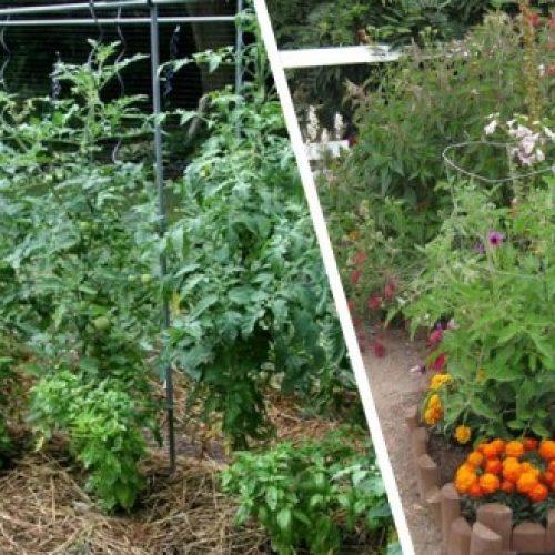 Ο βασιλικός προστατεύει τις ντομάτες και βελτιώνει τη γεύση τους. Αυτό και άλλα 9 φυτά που πρέπει να φυτεύονται δίπλα  τους