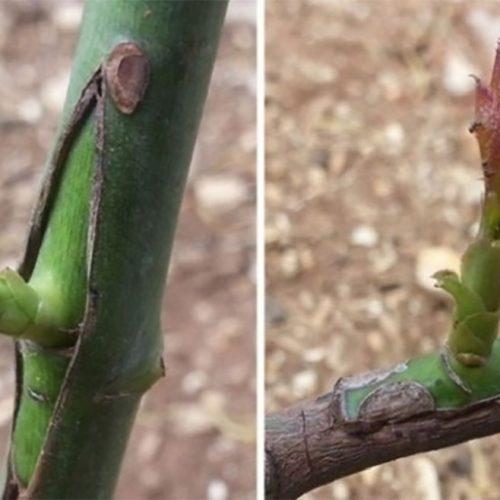 Πως θα εμβολιάσετε  καρποφόρα δέντρα του κήπου σας