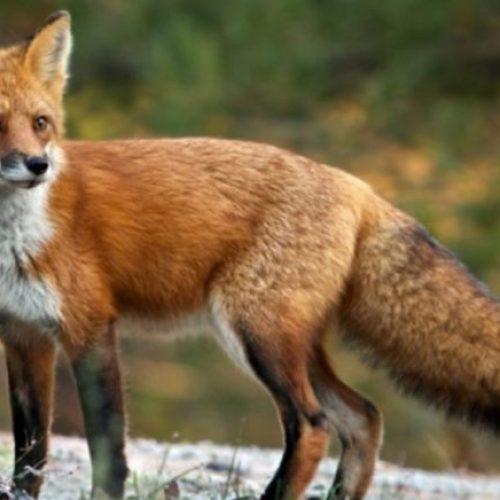 Εμβολιασμός των κόκκινων αλεπούδων με εμβόλια κατά της λύσσας στο Δήμο Βέροιας