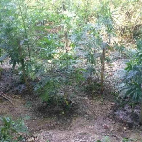 Συνελήφθησαν 2 άτομα στην Ημαθία για καλλιέργεια κάνναβης