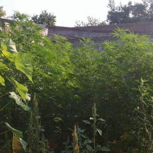 Εντοπίστηκε φυτεία κάνναβης στην Πέλλα με 52 δενδρύλλια  ύψους έως 3,5 μέτρων