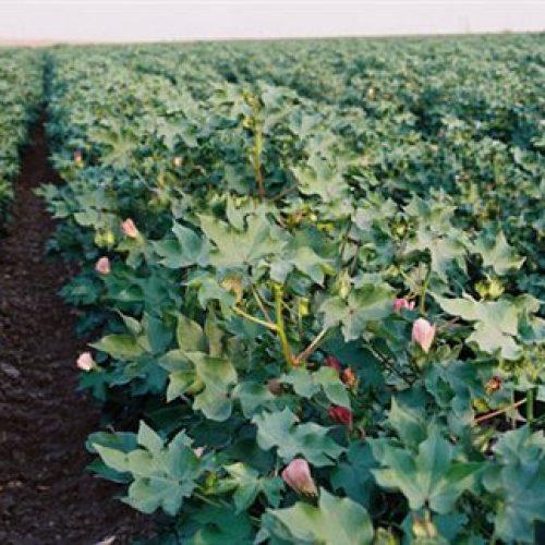 2ο δελτίο γεωργικών προειδοποιήσεων ολοκληρωμένης φυτοπροστασίας στην βαμβακοκαλλιέργεια της Π.Ε Ημαθίας