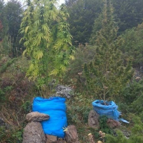 Συνελήφθη στην Ημαθία  επειδή καλλιεργούσε  δενδρύλλια κάνναβης