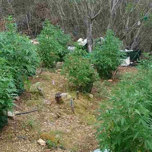 Συνελήφθη 59χρονος στην Ημαθία για καλλιέργεια κάνναβης