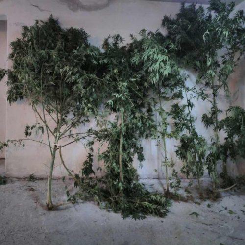 Συνελήφθη 22χρονος στην Πέλλα για καλλιέργεια κάνναβης