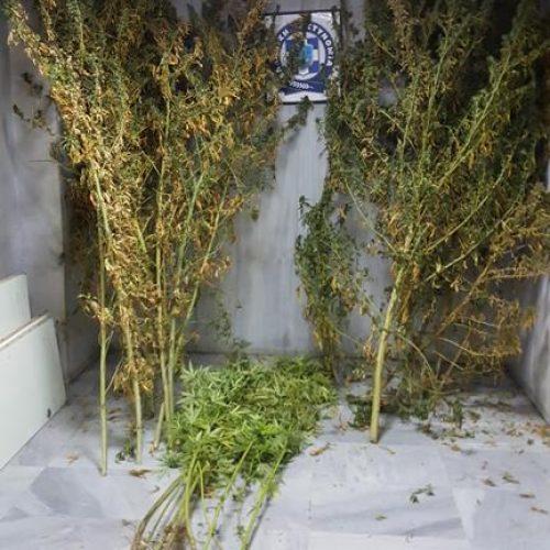 Συνελήφθη  στην  Πέλλα 53χρονος για κατοχή και καλλιέργεια κάνναβης
