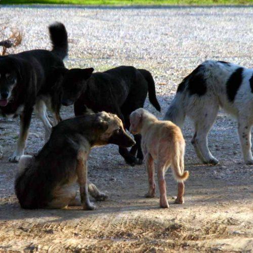 Εντείνονται οι προσπάθειες περισυλλογής των αδέσποτων σκύλων από το Δήμο Βέροιας