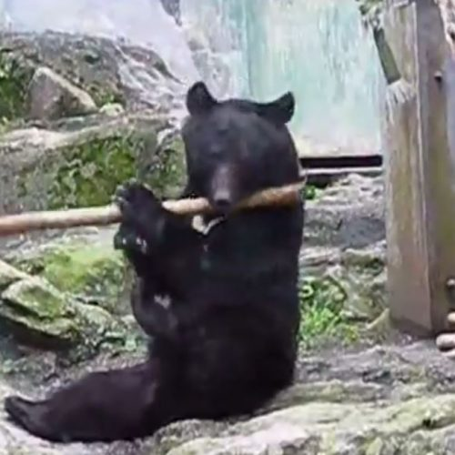 Αρκούδα… καθηγήτρια του Κουνγκ Φου (video)