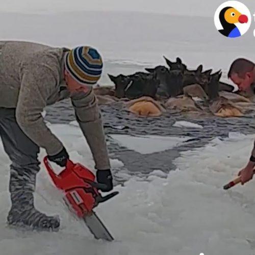 Η διάσωση κοπαδιού από 12 ελάφια που εγκλωβίστηκαν σε παγωμένη λίμνη - video