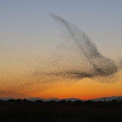 Σμήνος ψαρονιών σχηματίζει στον ουρανό ένα γιγάντιο... πουλί!