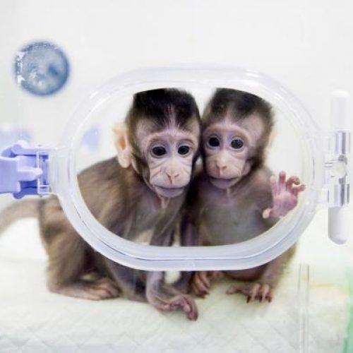H πρώτη κλωνοποίηση μαϊμούδων ανοίγει δρόμο και για ανθρώπινη;