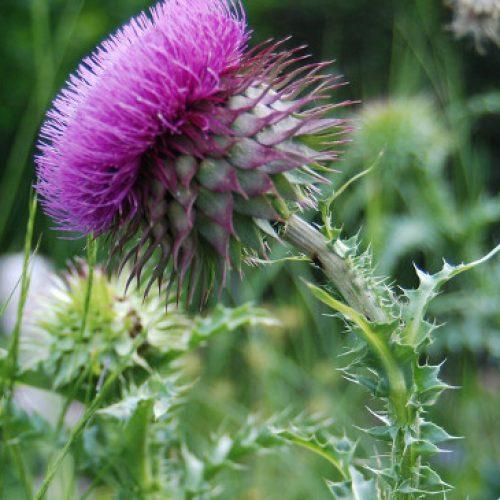 Γαϊδουράγκαθο! Βότανο για αποτοξίνωση με εξαιρετικές ιδιότητες στην υγεία
