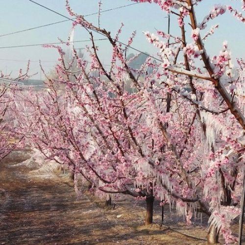 Καλούνται οι αγρότες του Δήμου Βέροιας να δηλώσουν τις ζημιές από τον παγετό της 1ης  Μαρτίου