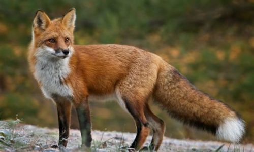 Π.Ε. Ημαθίας: Ρίψη εμβολίων - δολωμάτων από αέρος για την λύσσα των άγριων ζώων