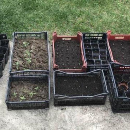 Συνελήφθη 50χρονος   ο οποίος καλλιεργούσε πάνω από 150 δενδρύλλια κάνναβης