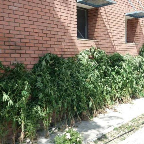 Συνελήφθη 53χρονος για καλλιέργεια πάνω από 400 δενδρύλλια κάνναβης