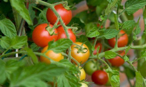Πως κλαδεύουμε την ντομάτα για να δέσουν καλύτερα οι καρποί!