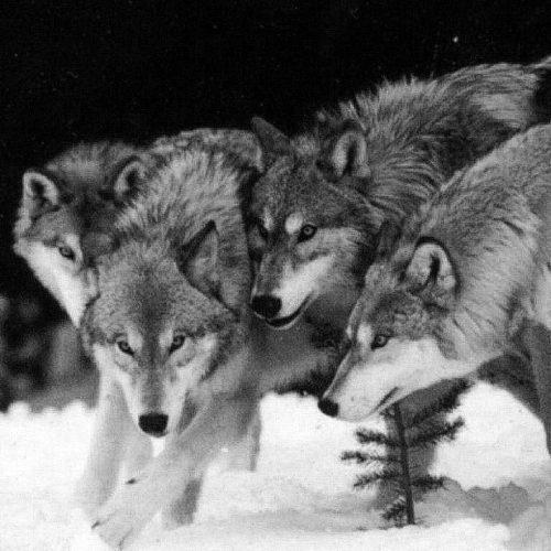 Η κοινωνία των λύκων!