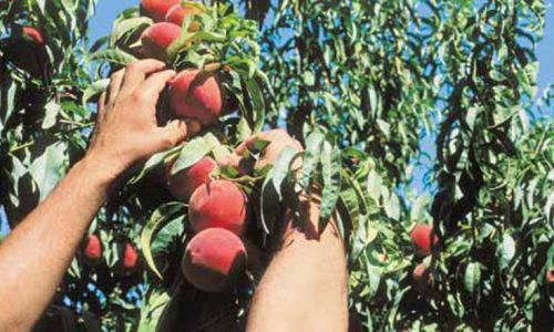 ΝΟΔΕ Ημαθίας: Ο εμπαιγμός των ροδακινοπαραγωγών – Απάντηση στον ΣΥΡΙΖΑ