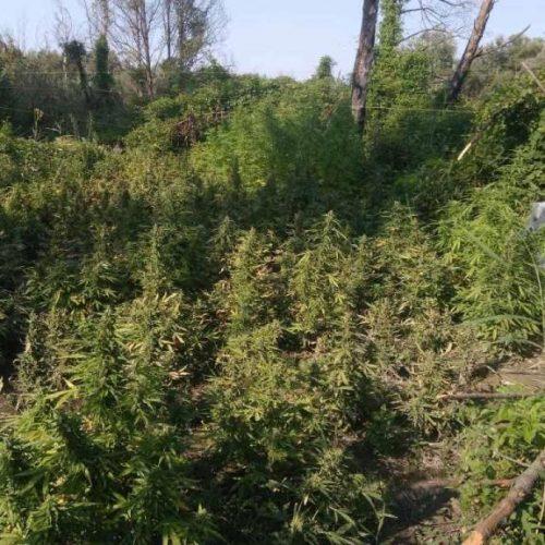 Εντοπίστηκε φυτεία με πάνω από 1.100 δενδρύλλια κάνναβης! (video)