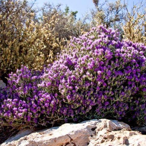 Καρκίνος του παχέος εντέρου, μαστού και υπέρταση:  Το ελληνικό βότανο  που προστατεύει!