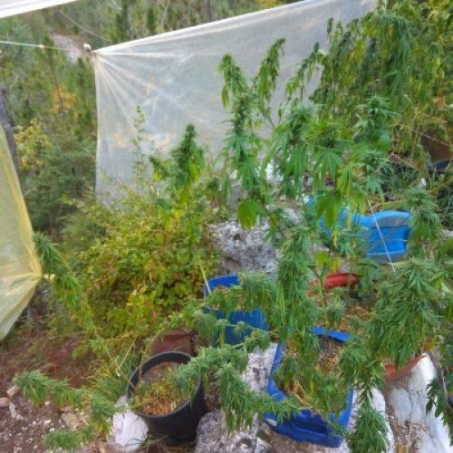 Συνελήφθη 42χρονος  για κατοχή και καλλιέργεια 47 δενδρυλλίων κάνναβης