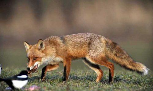 Ρίψη  εμβολίων - δολωμάτων  για αλεπούδες σε περιοχές της Ημαθίας