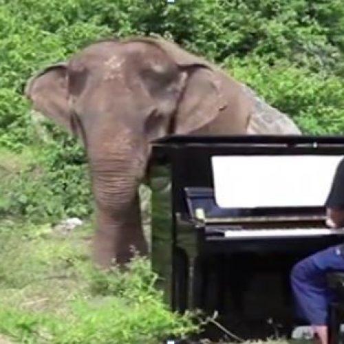 Μουσικός ψυχαγωγεί τυφλούς ελέφαντες παίζοντας κλασική μουσική!