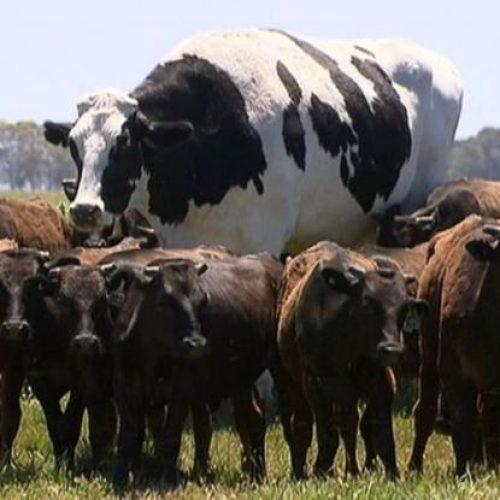 Αγελάδα γίγαντας κόβει βόλτες μαζί με το υπόλοιπο κοπάδι και ξεχωρίζει (Photos & Video)
