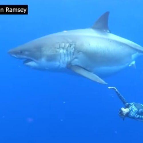 Κολυμπώντας δίπλα με τον  μεγάλο λευκό καρχαρία! (video)