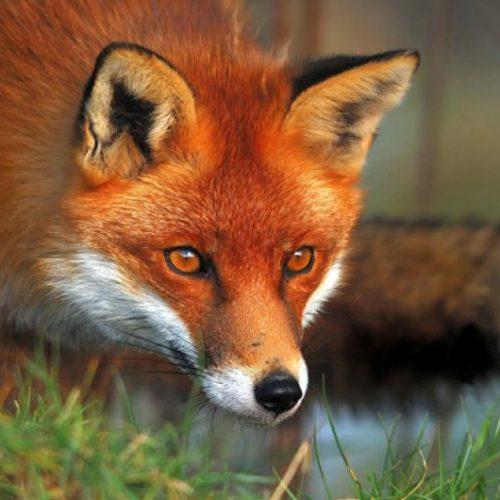 Π.Ε. Ημαθίας: Παράταση της ενεργητικής επιτήρησης της λύσσας στις κόκκινες αλεπούδες