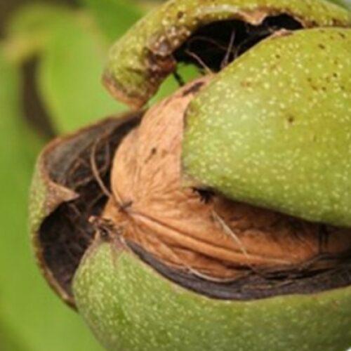 Ημερίδα: Δυναμικές καλλιέργειες στον κάμπο της Βέροιας – Αμυγδαλιά, καρυδιά και φουντουκιά