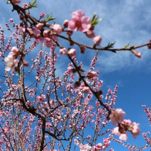 Το εντυπωσιακό  ροζ της ανθισμένης ροδακινιάς  βάφει τον κάμπο της Ημαθίας