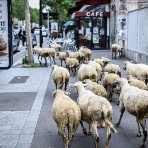 Στη Γαλλία έγραψαν σε σχολείο... 15 πρόβατα για να μην καταργηθούν τμήματα!